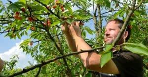 inspection des fruits d'un arbre